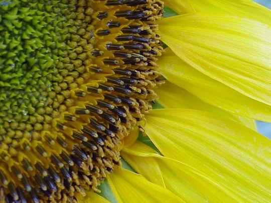 Fleur de tournesol en macro