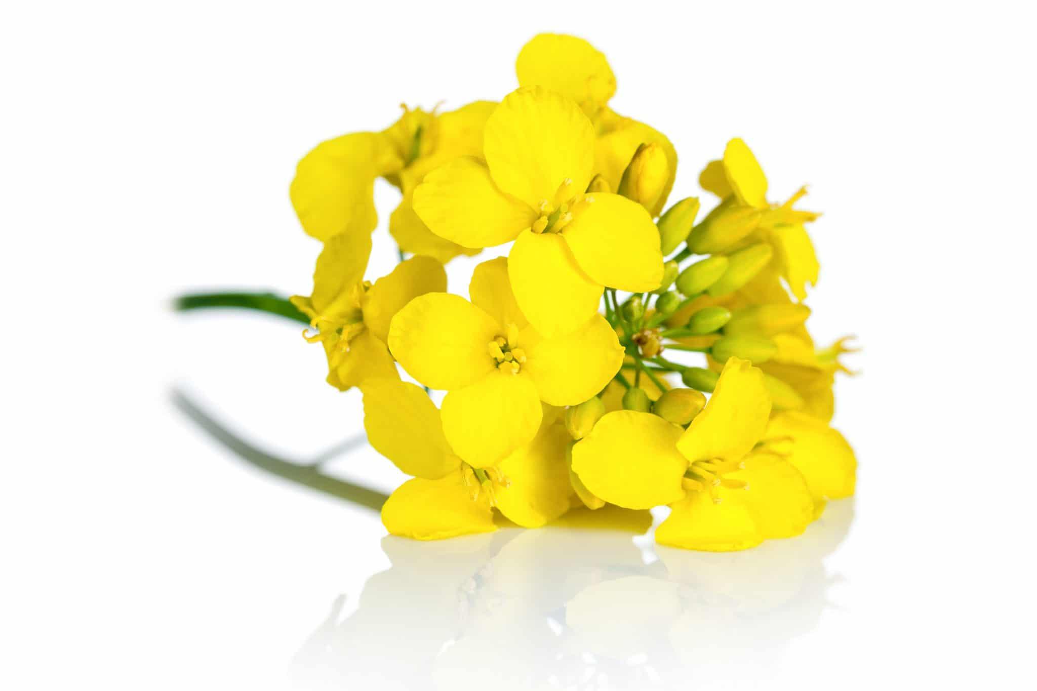 Fleur de cloza